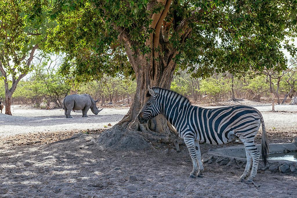 Cebra a la sombra de un árbol en la reserva de vida salvaje de Fathala, senegal