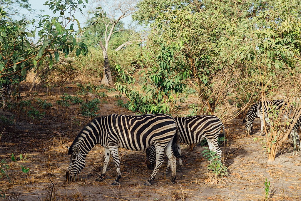 Tres cebras pastando en la reserva de vida salvaje de Fathala, Senegal
