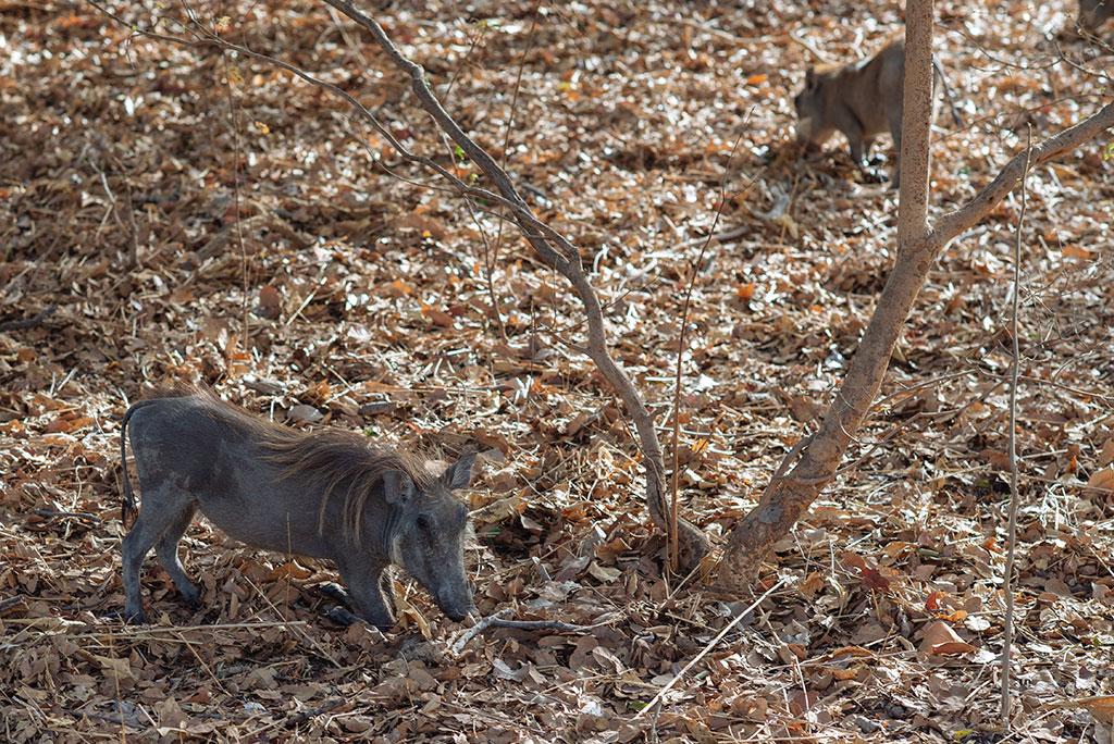 Jabalíes en la reserva de vida salvaje de Fathala, Senegal