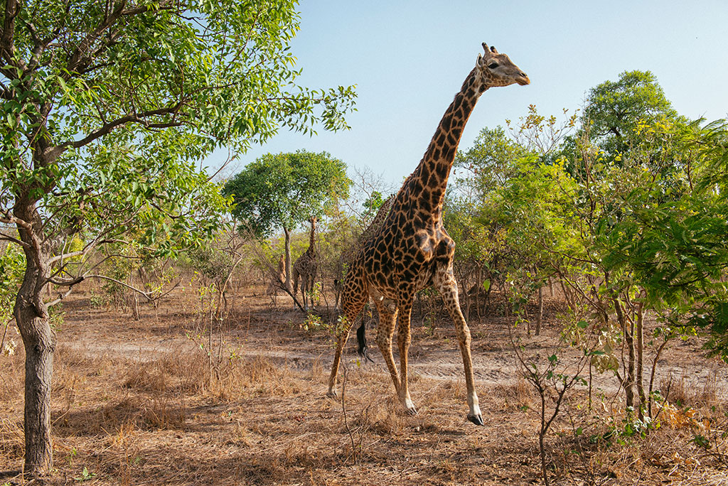 Jirafa corriendo en la reserva de vida salvaje de Fathala, Senegal