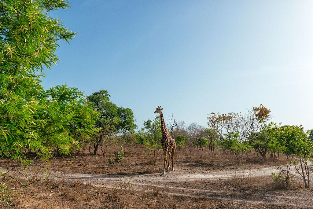 Jirafa en reserva de vida salvaje de Fathala, Senegal