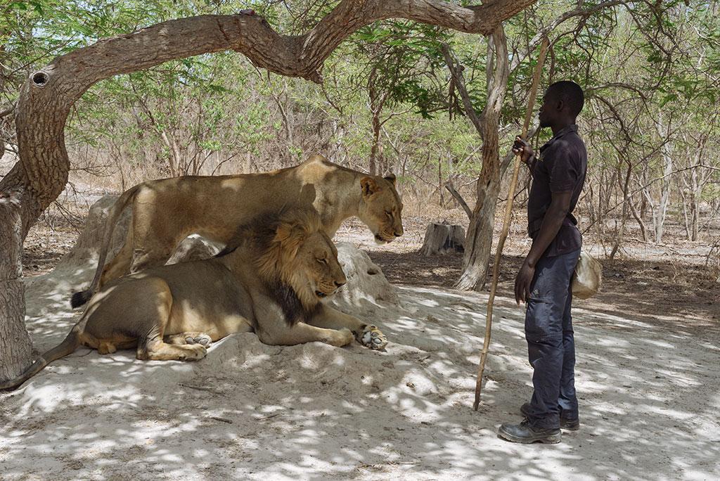 pareja de leones con guía en la reserva reserva de vida salvaje de Fathala, Senegal