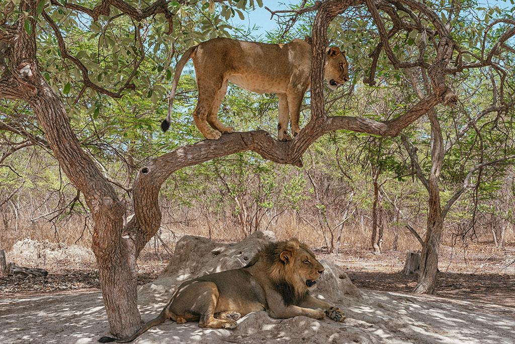 Pareja de leones en la reserva de vida salvaje de Fathala