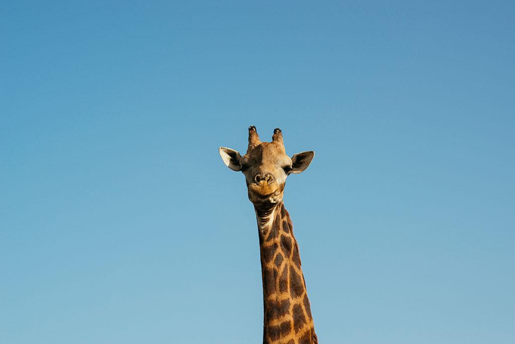 Retrato de jirafa en reserva de vida salvaje de Fathala