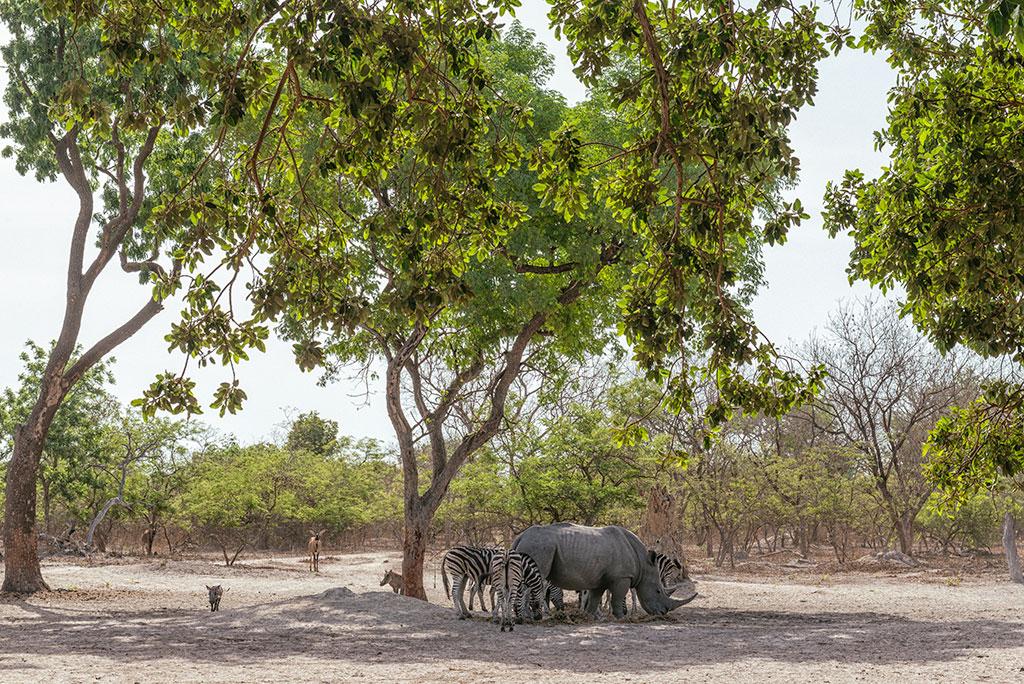 Manada de animales salvajes en la reserva de vida salvaje de Fathala, Senegal
