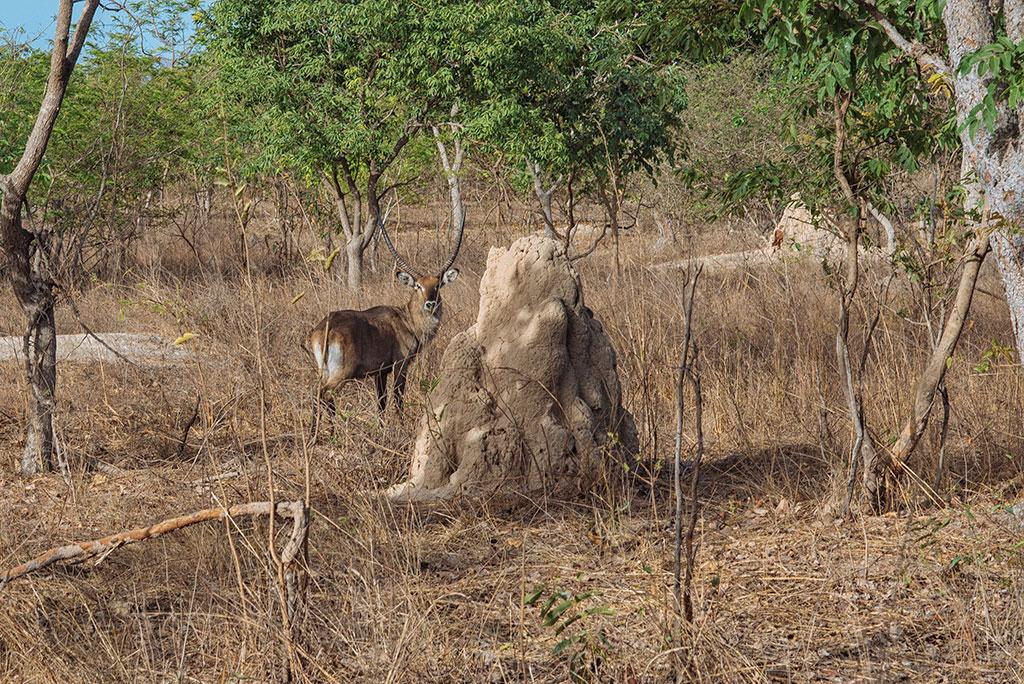 Antílope junto a termitero en la reserva de vida salvaje de Fathala, Senegal
