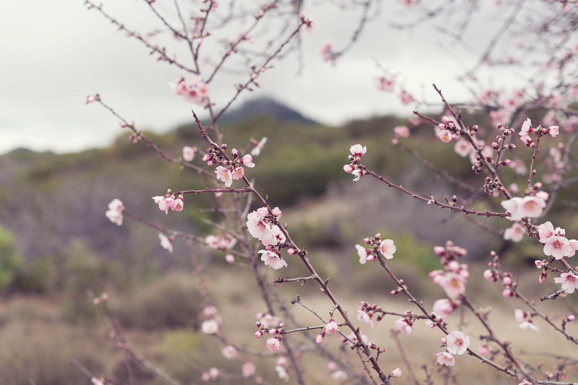 ramas de almendros en flor