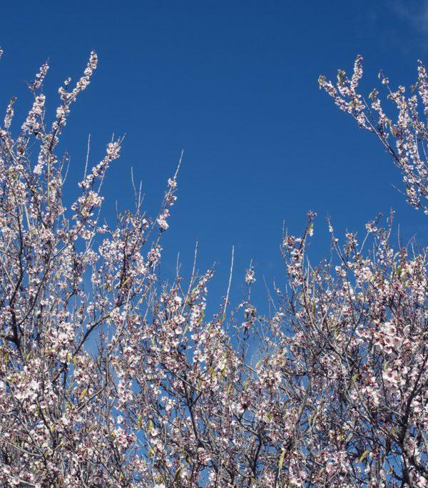 Almendros en flor en el Valle de Arriba