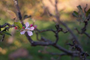 Almendro floreciendo