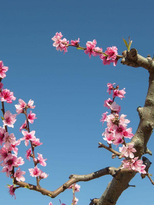 Cieza en flor