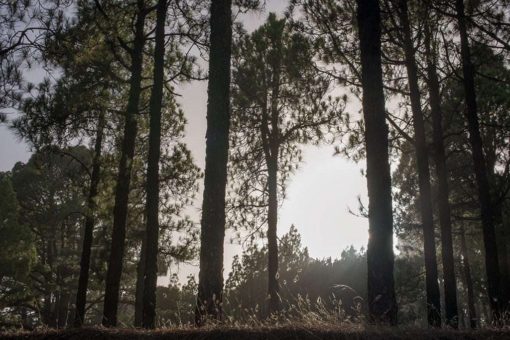 El Hierro pinar