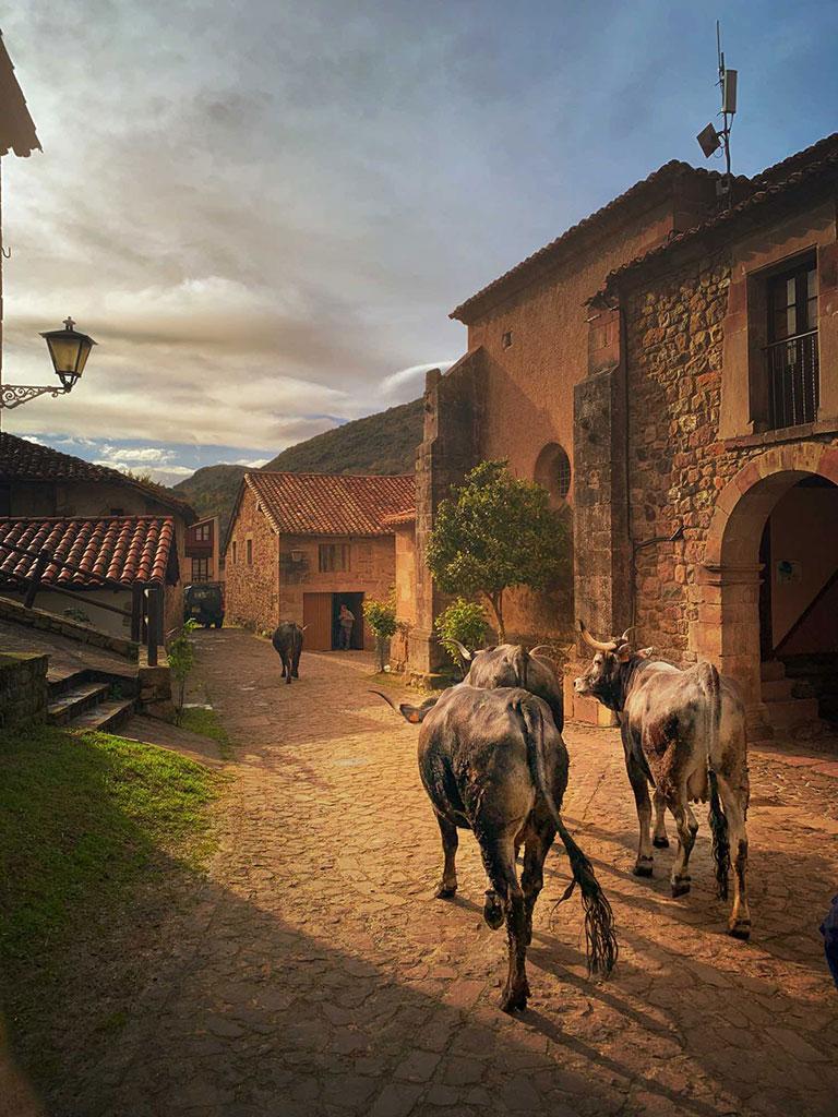 Vaca tudanca en Carmona