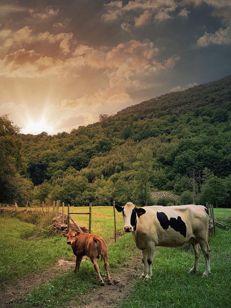 Vacas en Carmona