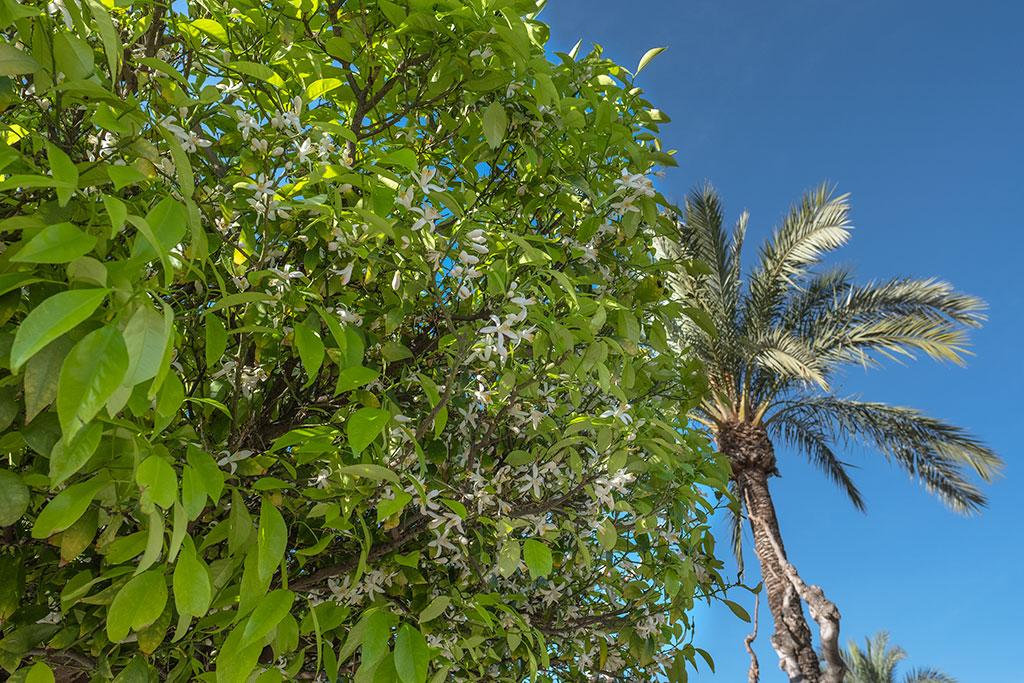 Naranjo en flor en Murcia