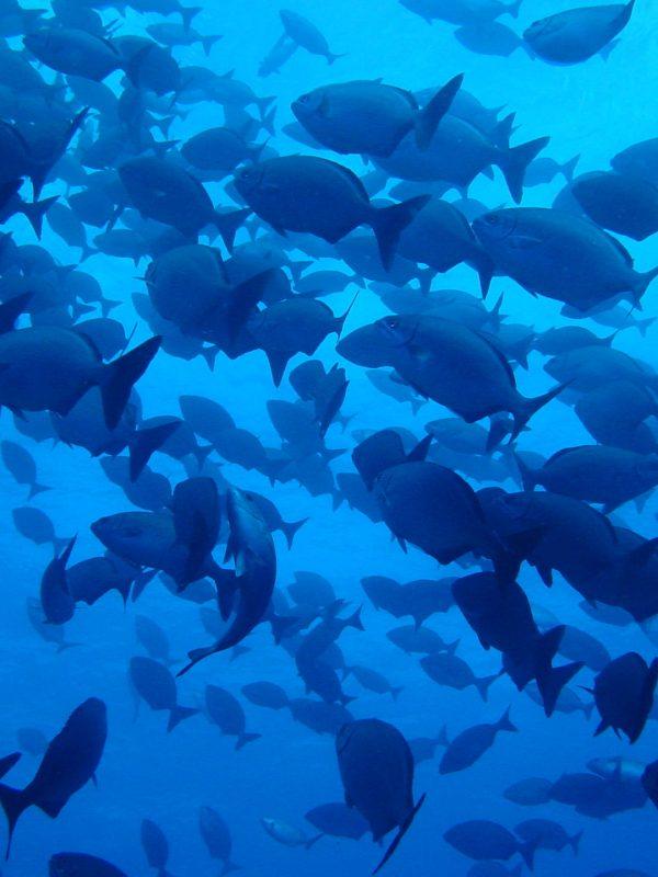 Peces buceo en El Hierro
