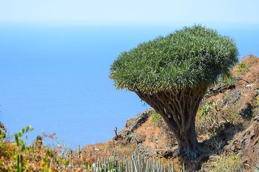 10 lugares que no puedes perderte en La Palma: Drago de Buracas